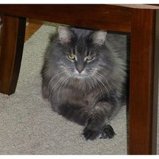 cat under a chair